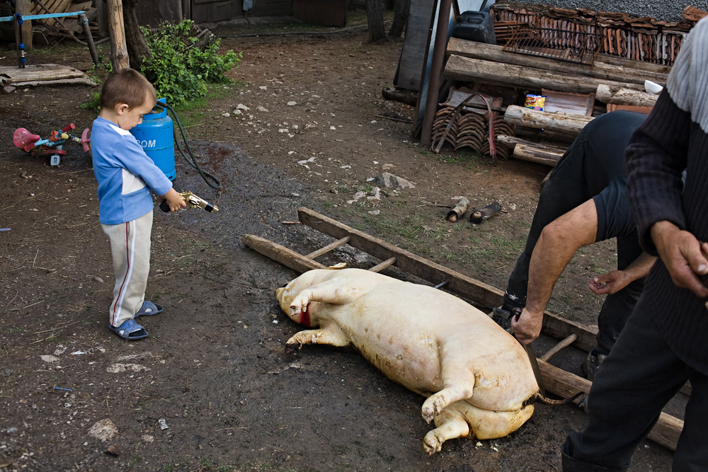 Zece-Hotare village, Romania. Killing a pig for food. Many (most?) families in the village keep pigs. Killing one, once or twice a year, is an important and time-consuming event.