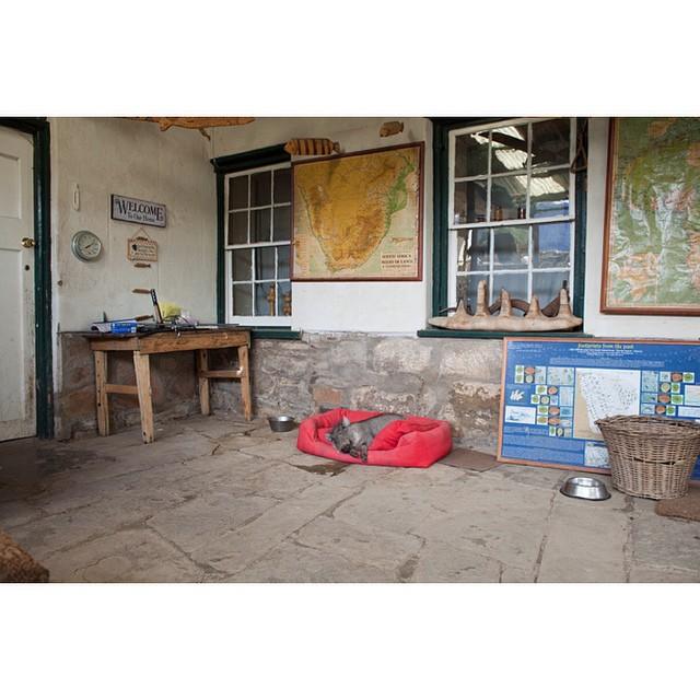 "32°18'35.5""S 24°58'13.5""E, 17/03/2015, 1507 Penelope, pet warthog, Whisky's bed, Asantesana game reserve, Eastern Cape, South Africa #pet #warthog #dog #wildlife #SouthAfrica #karoo #safari"