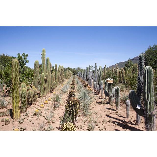 "32°15'15.0""S 24°32'29.1""E, 18/03/2015, 1234 Lines, Obesa nursery, Graaff-Reinet, Eastern Cape, South Africa #tidy #lines #cactus #cacti #succulent #nursery #karoo #farm  #gardening #SouthAfrica"