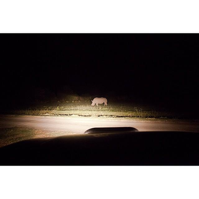 "32°18'47.6""S 24°58'03.4""E, 15/03/2015, 2120 Dehorned rhinoceros, Asante Sana game reserve, Eastern Cape, South Africa #rhino #gamefarm #safari #headlights #night #roadside #Africa #conservation #wildlife"