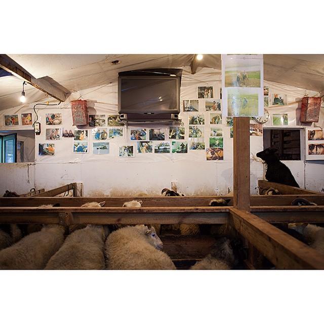 "66 03'37.6""N 18 39'31.5""W, 24/12/2014, 1333 Black sheep and television, Brekkuland, Ólafsfjörður, Iceland #matingseason #sheep #blacksheep #television #hobby #farm #Iceland"
