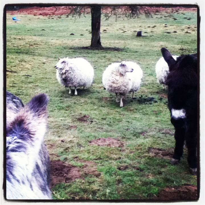 Sheep and donkeys
