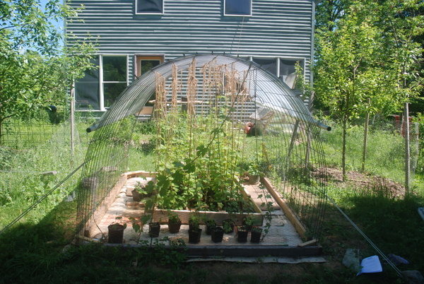 But just a few weeks later, it was getting pretty crowded. These fast-growing hops are more than ready for a new home!