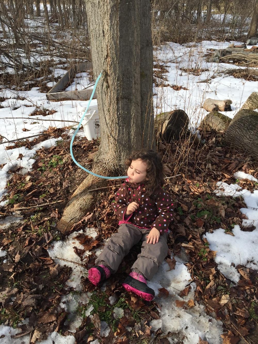 Margot samples the sap.