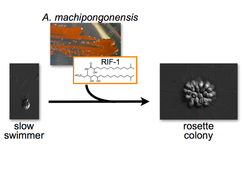 We previously discovered that a diffusible signal (Rosette Inducing Factor 1; RIF-1) from the prey bacterium Algoriphagus machipongonensis (Phylum Bacteroidetes) regulates multicellular development in S. rosetta. we have identified and characterized the structure of the signaling molecule, which is a novel sulfonolipid.
