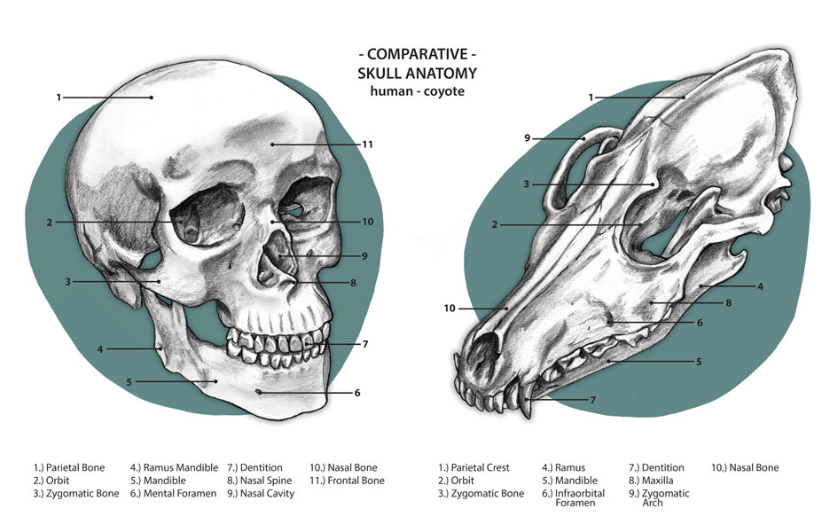 skull-comparison.jpg