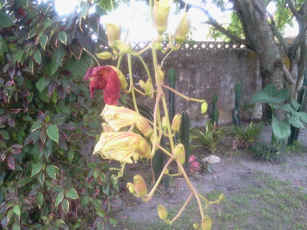 Kigellia Africana Flower - Photo by Barb Badger