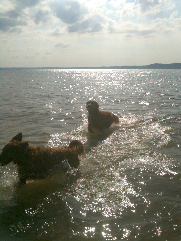 Duffy and Buster summer swim trip to Maple Bay!