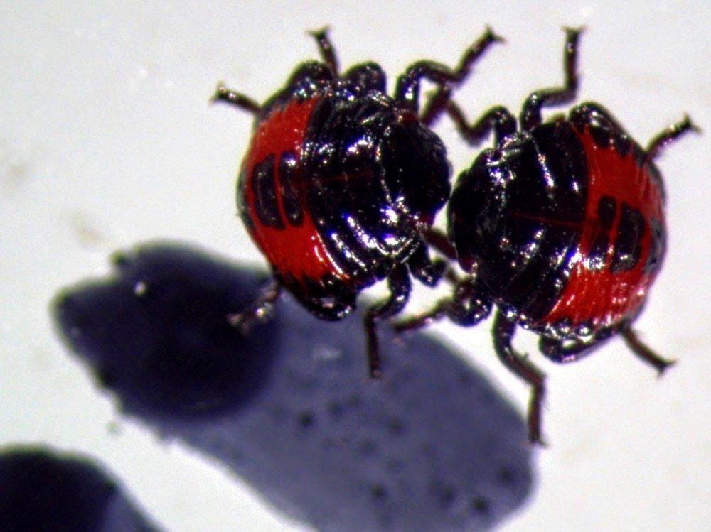 First instar nymphs of Perillus bioculatus
