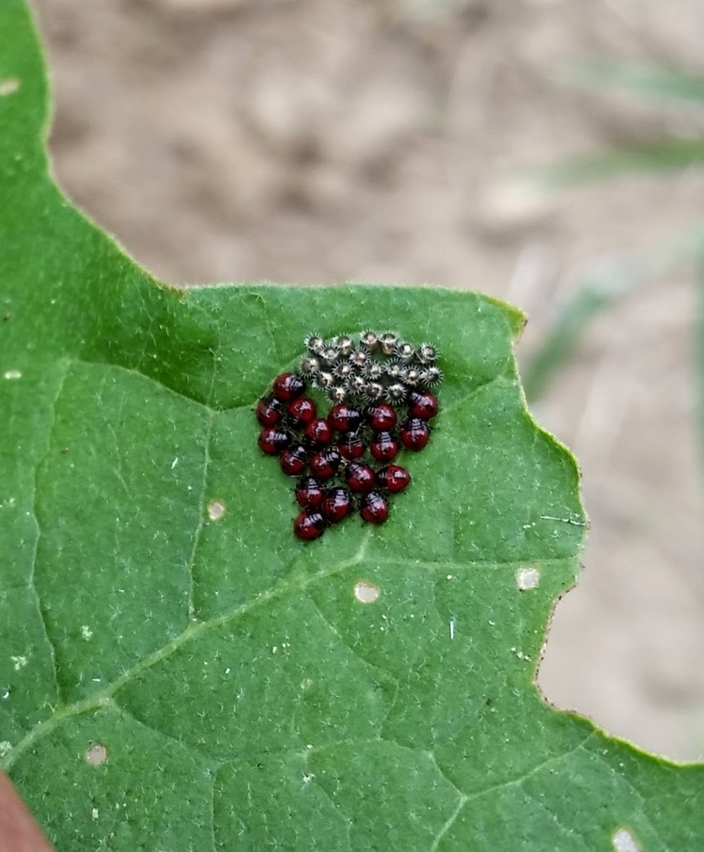 Egg mass and hatched first instar nymphs of  Podisus maculiventris , the spined soldier bug on eggplant.