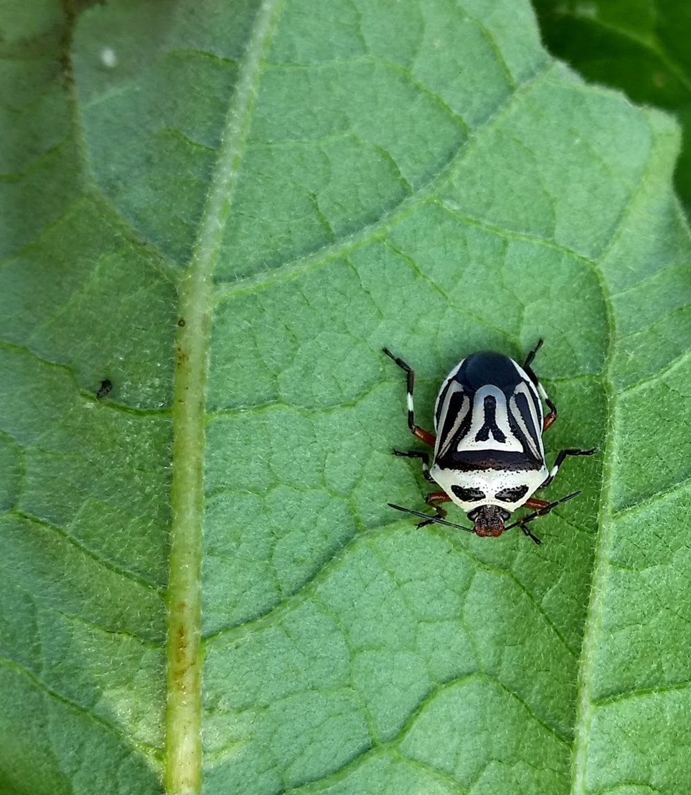 White Two Spotted Stink Bug