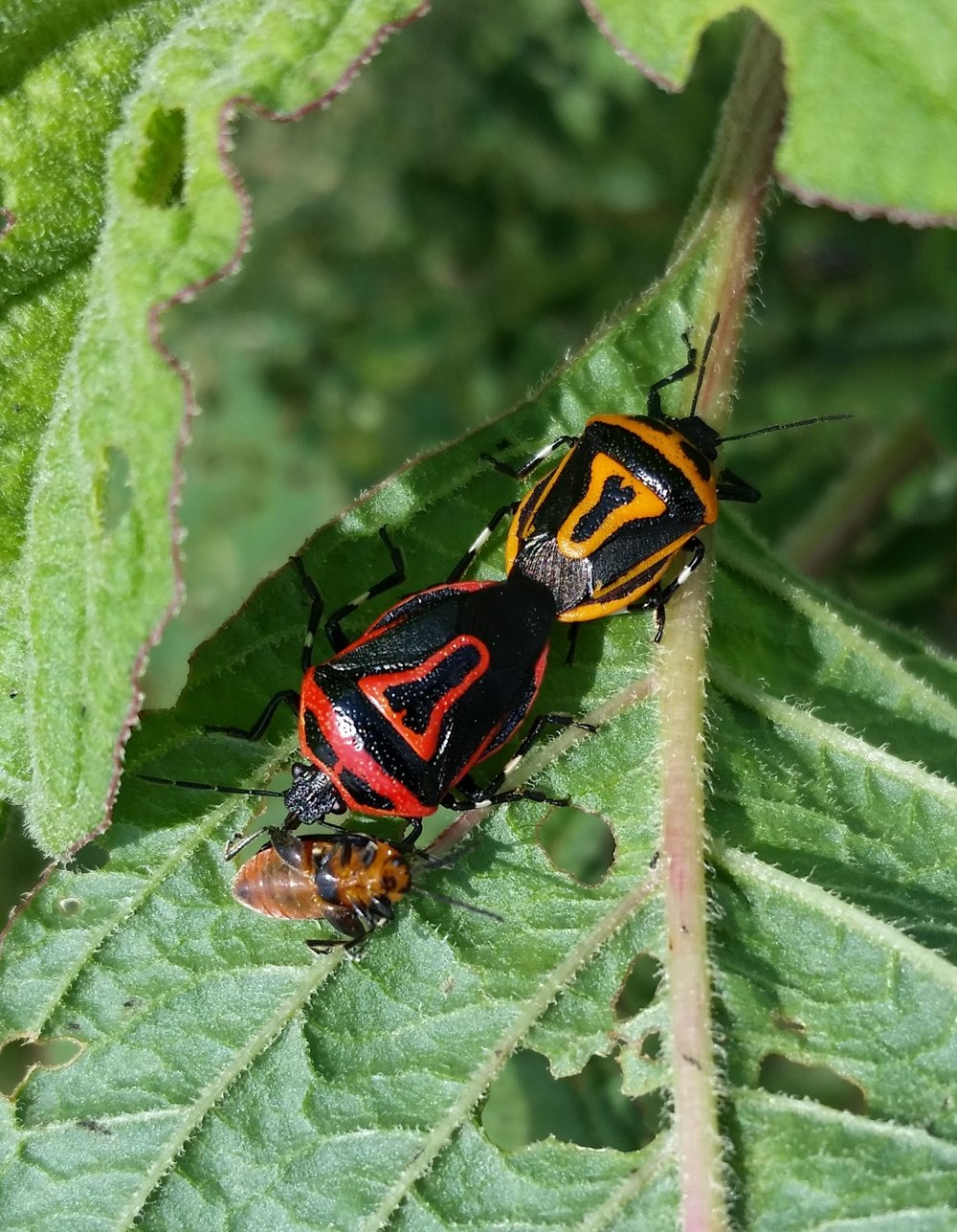 Two spotted stink bugs (Perillus bioculatus) making a mid-mating meal of a pigweed flea beetle (  Disonycha glabrata   ).