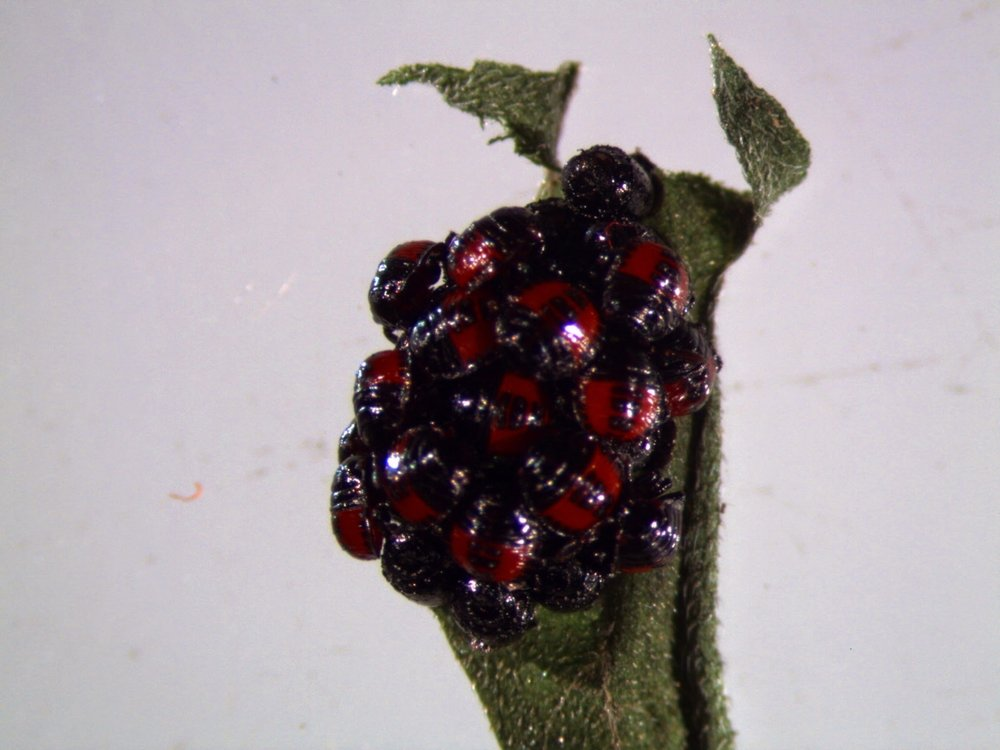Newly hatched two spotted stink bug ( Perillus bioculatus)  nymphs cluster on their egg mass before dispersing.