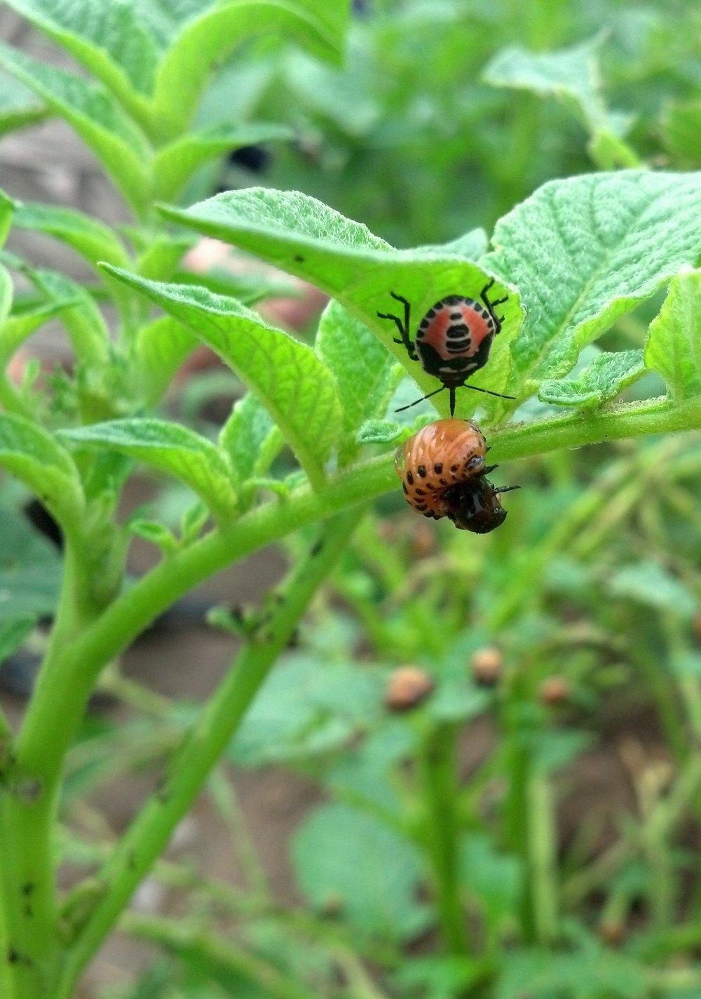 Fifth instar two spotted stink bug (Perillus bioculatus) feeds on a Colorado potato beetle larvae on a potato leaf