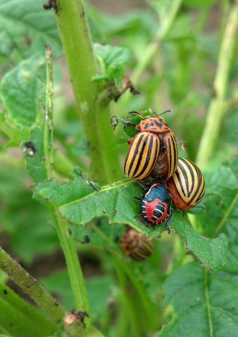 Fifth Instar  Perillus  nymph feeds on an adult Colorado potato beetle.