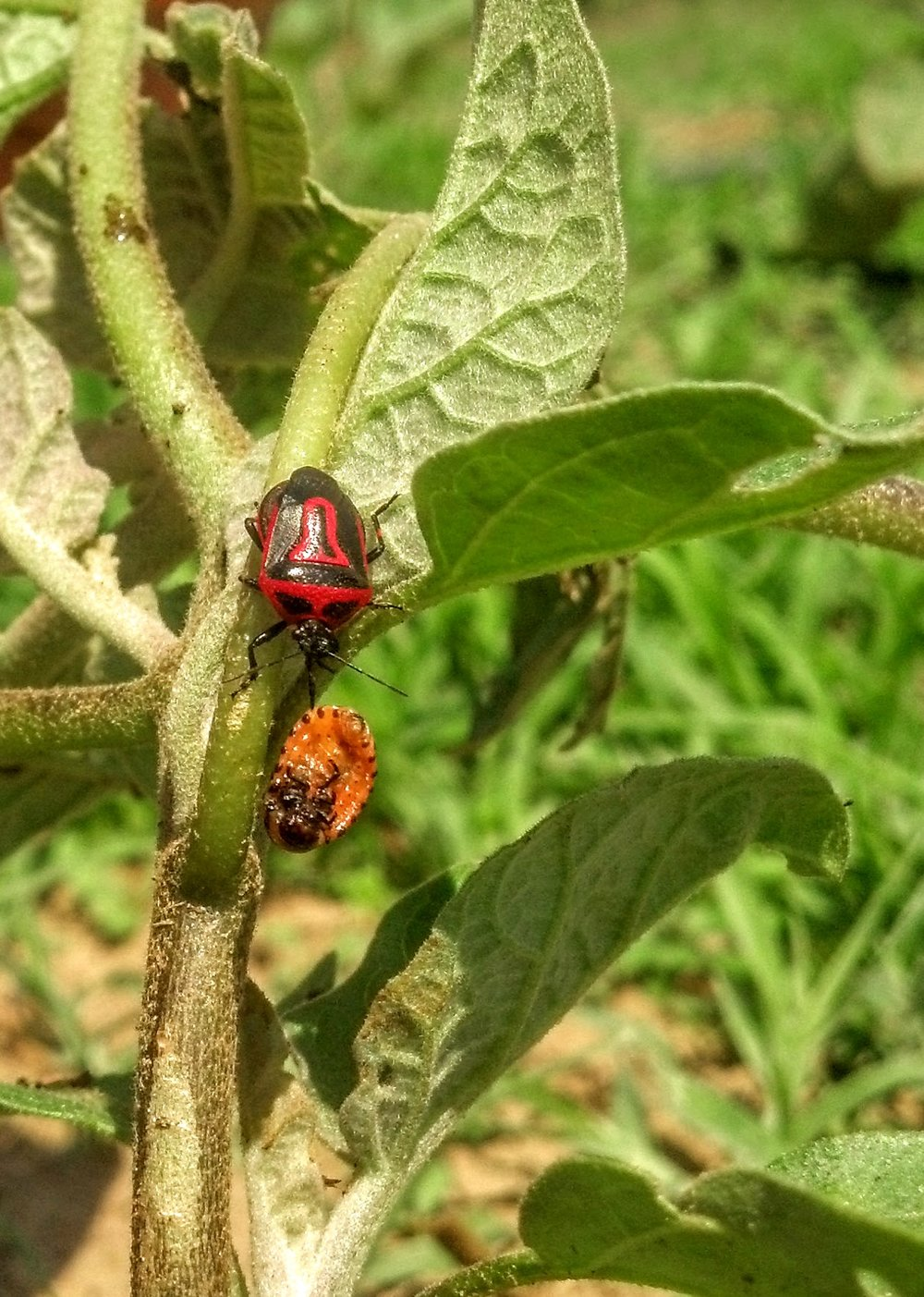 Adult  Perillus bioculatus  feeds on large Colorado potato beetle larvae on eggplant.
