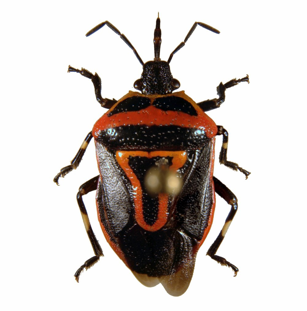 Dorsal shot of pinned adult  Perillus bioculatus , the two spotted stink bug.