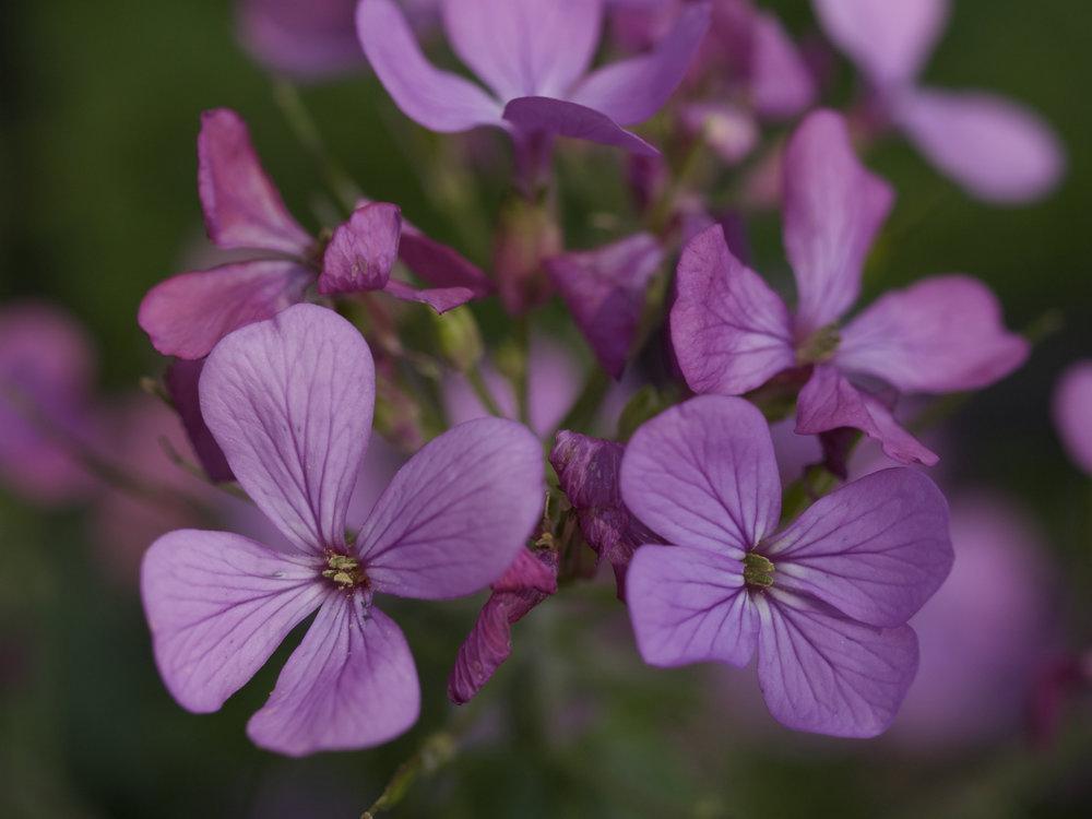 Violet Flowers.jpg