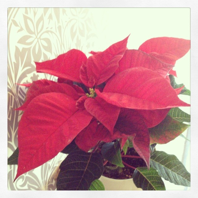 poinsettia (spurge family). When did it become such a symbol of Christmas?