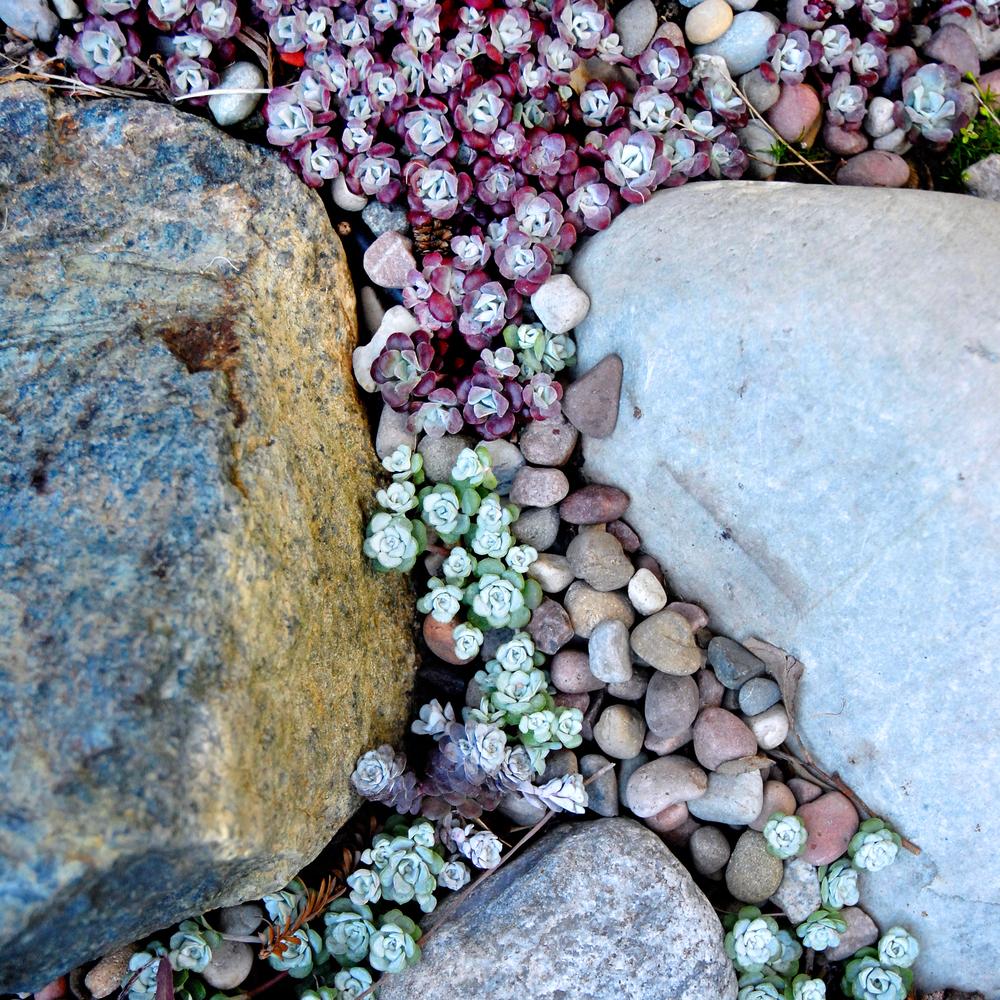 stonecrop.jpg