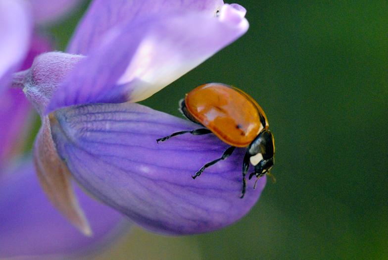 ladybuglupine.jpg