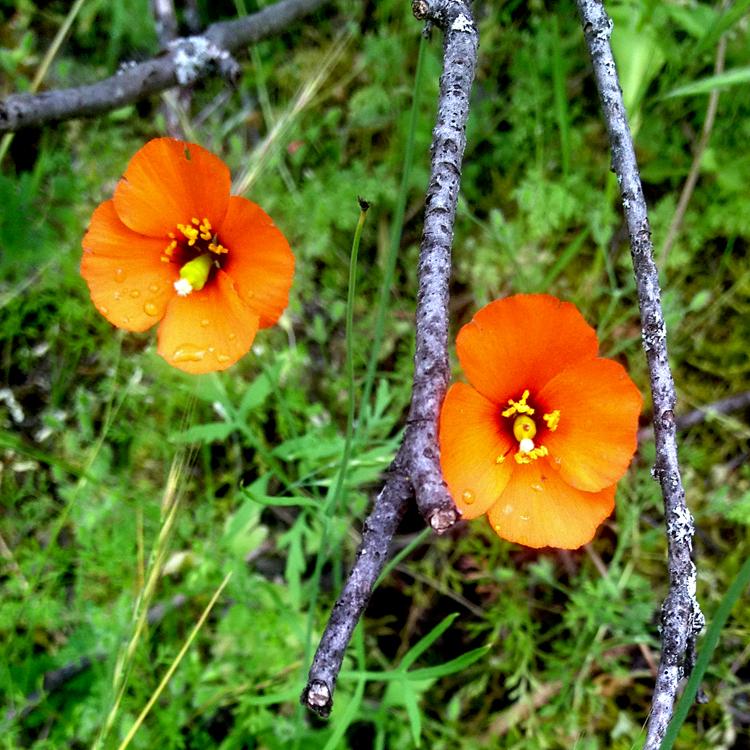 stylomeconheterophylla.jpg