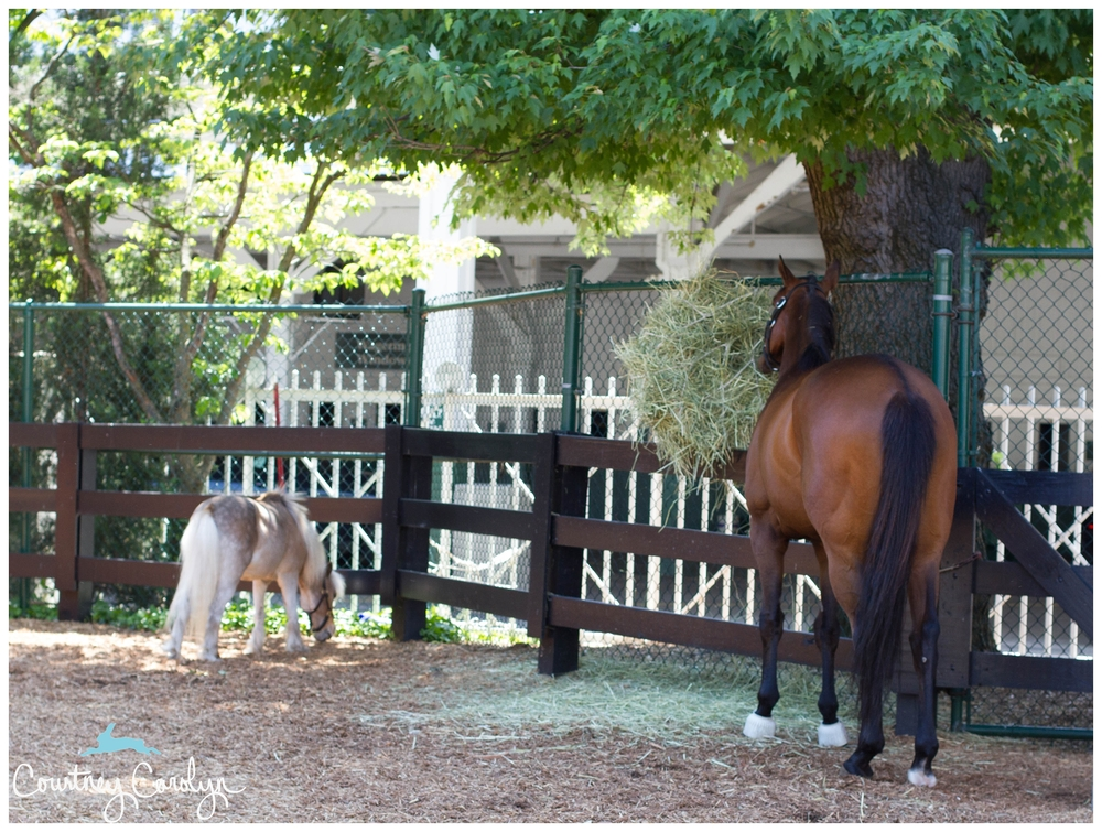 (R) Mine That Bird, 2009 Kentucky Derby Winner - oblivious to us tourists.
