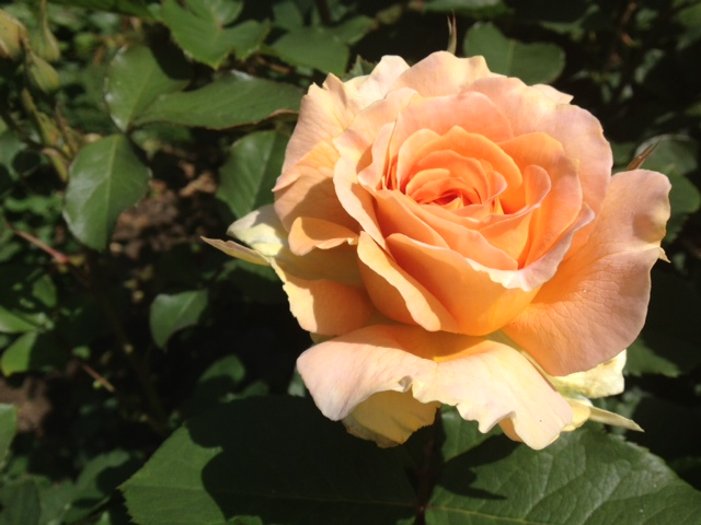 my favorite rose at the rose garden this weekend