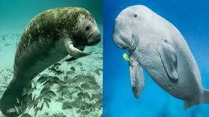 Manatee (left) & Dugong (right)
