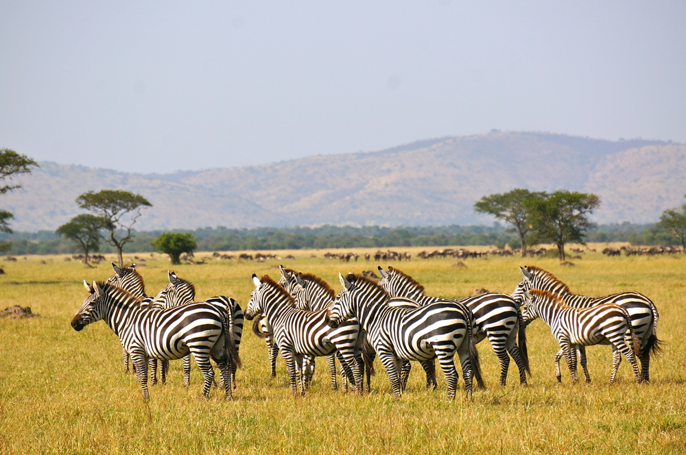 A dazzle of zebras stand at attention