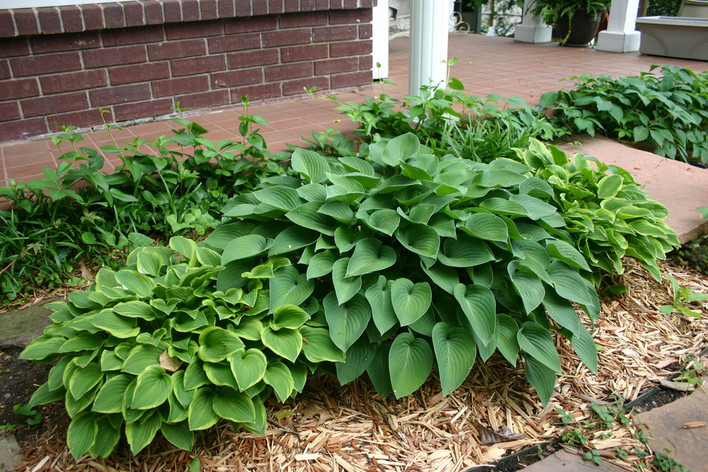 """Parent"" hostas....."