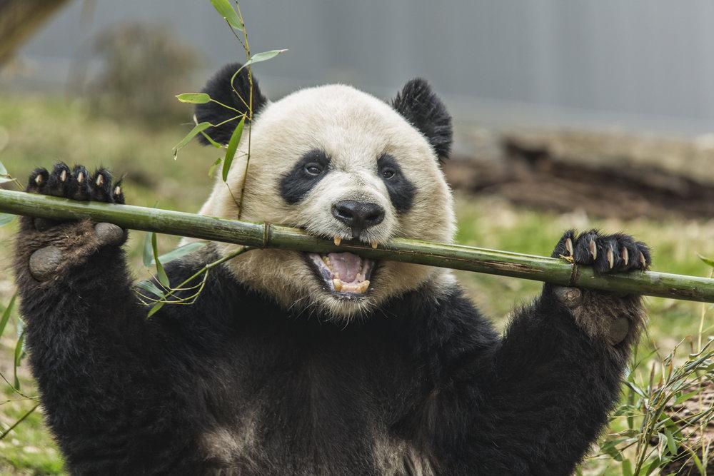 A giant panda eating bamboo