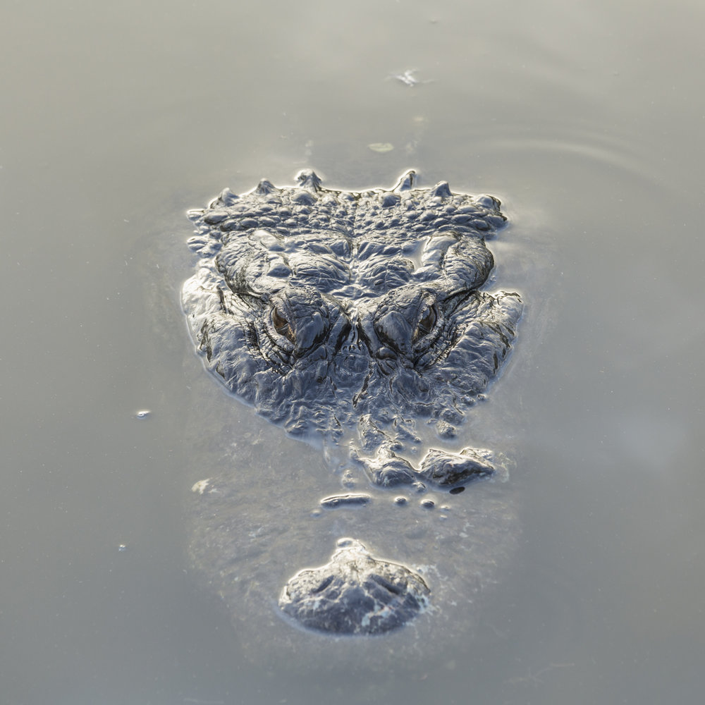 American Alligator floating in murky water