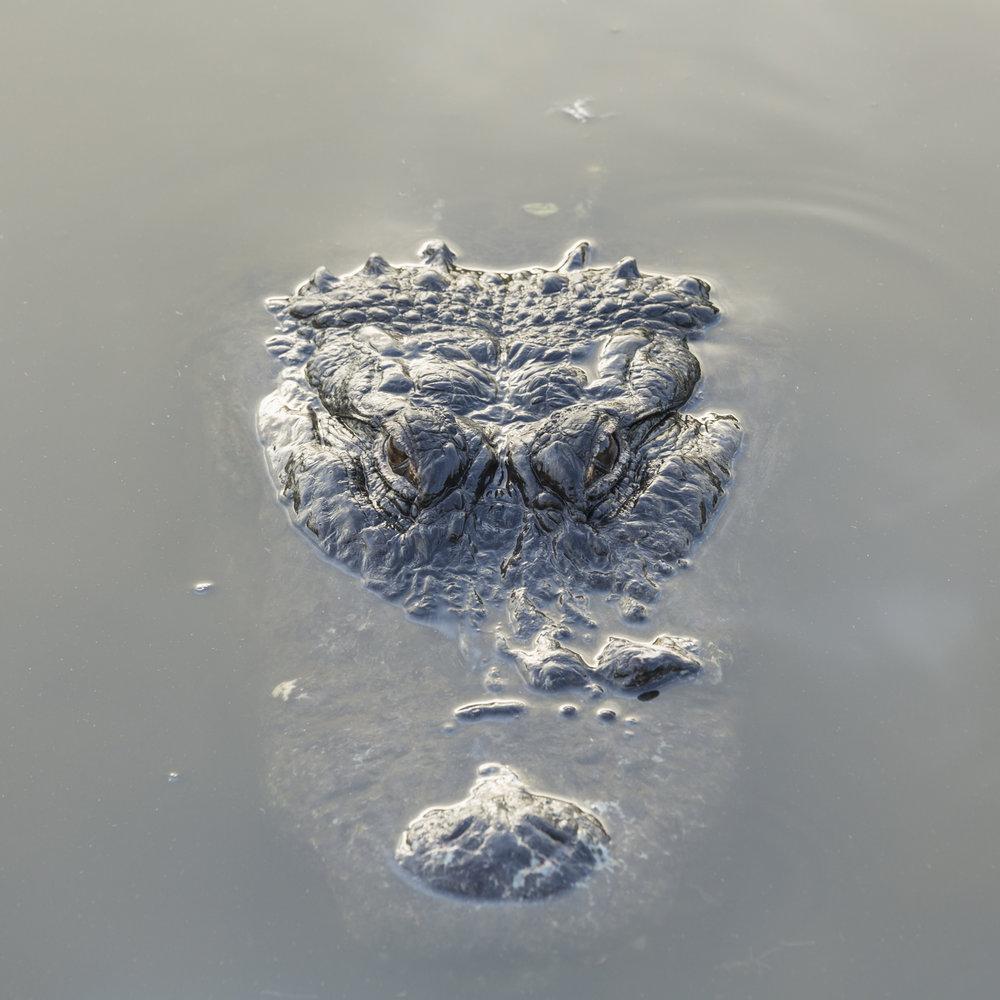 American Alligator floating in murky water