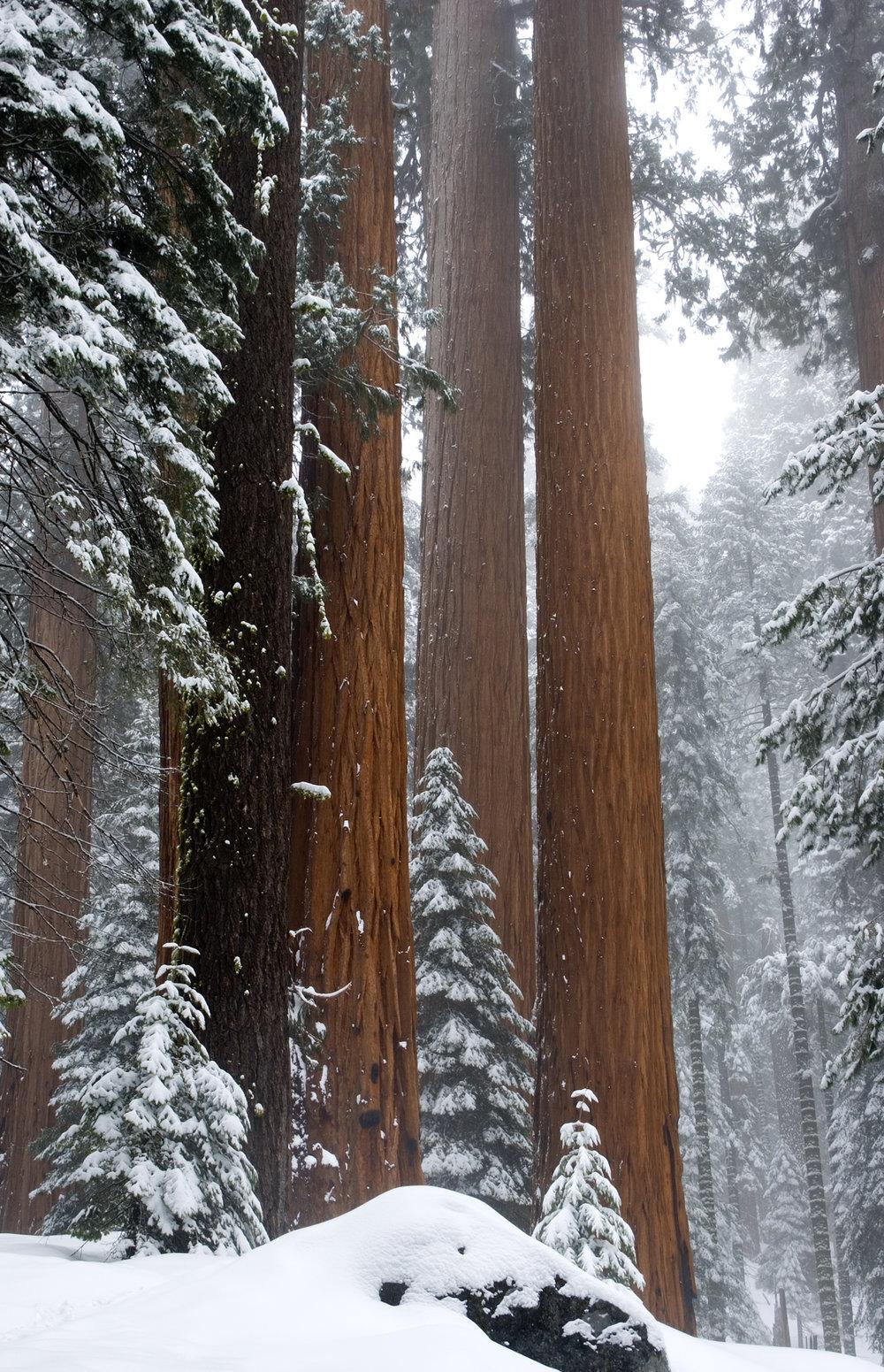 Giant Sequoia's #1