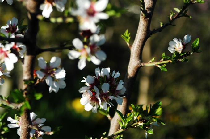 chery blossom.jpg