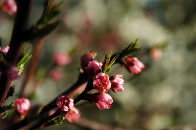 peach blossom2.jpg