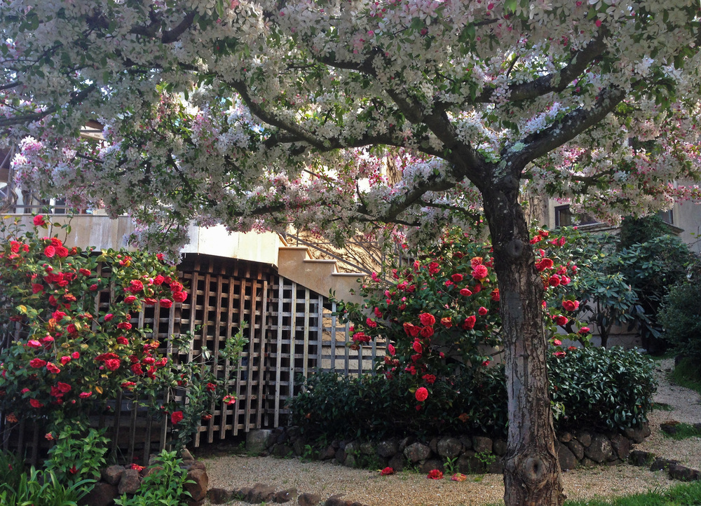 Red camellia shrubs frame a table-top pruned crabapple tree. Their blooms are coordinated to create a magnificent Spring show of reds, pinks and whites all at once.