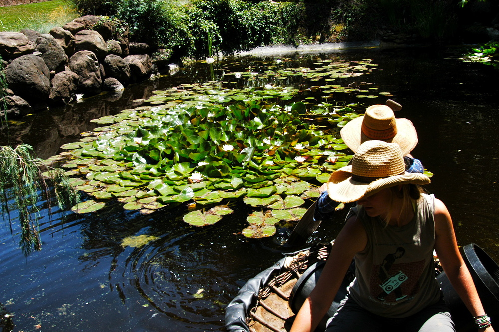 The water lilies are pruned once each season, which allows new growth more space as well as more flowers to bloom. It also ensures our interns a chance to navigate the pond in a traditionally constructed coracle.