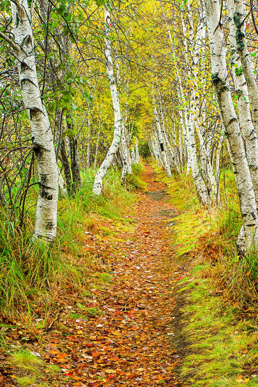 Birch Path.jpg