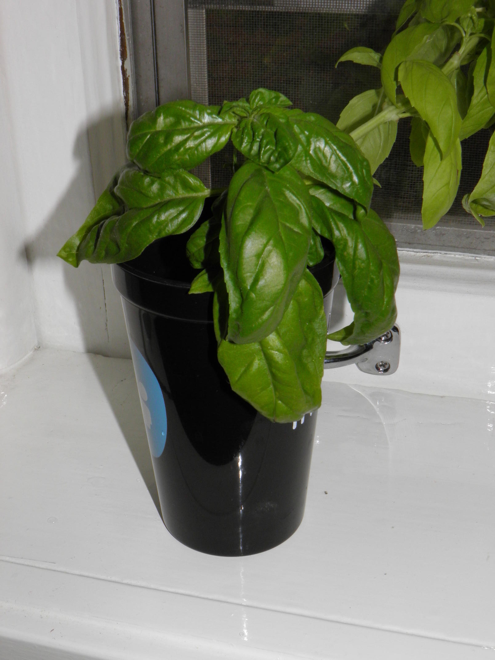 Rooting Basil in a Glass of Water