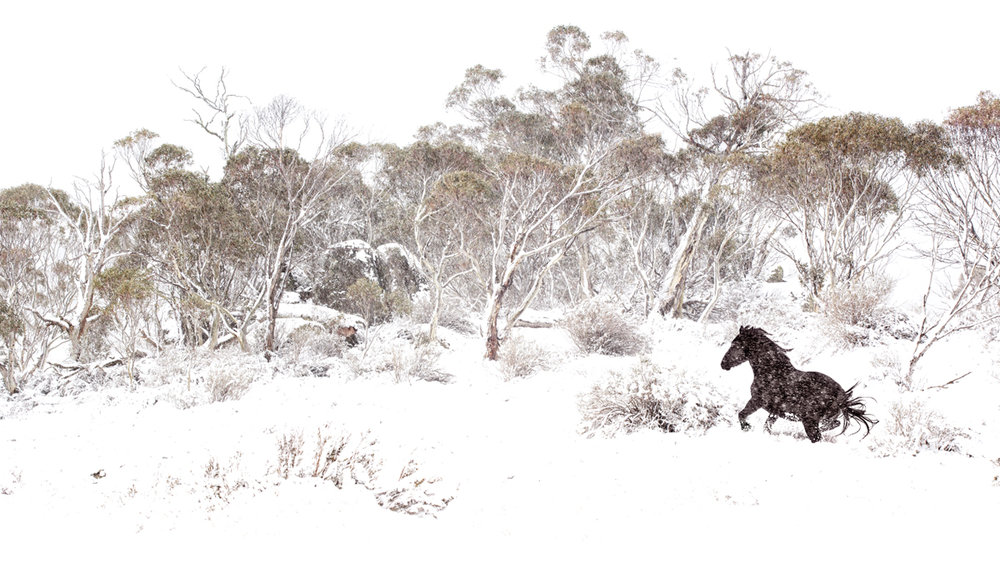 Brumby in the Snow