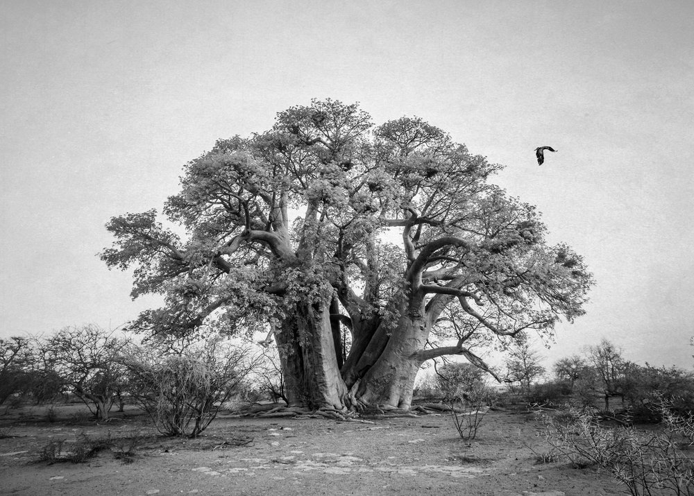 Baobab with Eagle and Texture