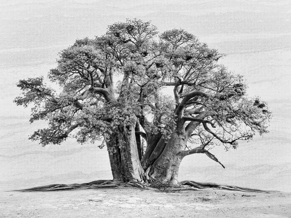 Baobab with Leopard