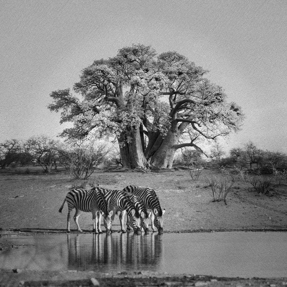 Baobab with Zebras