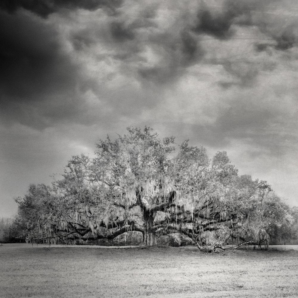 7 - Live Oak Sepia