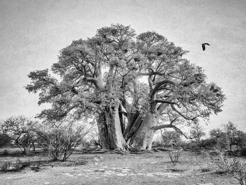 baobabheadonaippweb.jpg