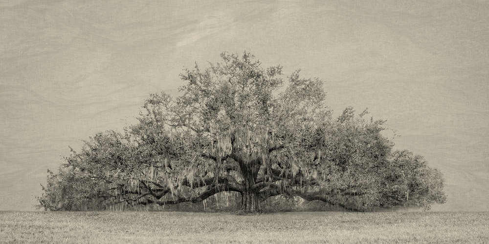 The Southern Live Oak Tree