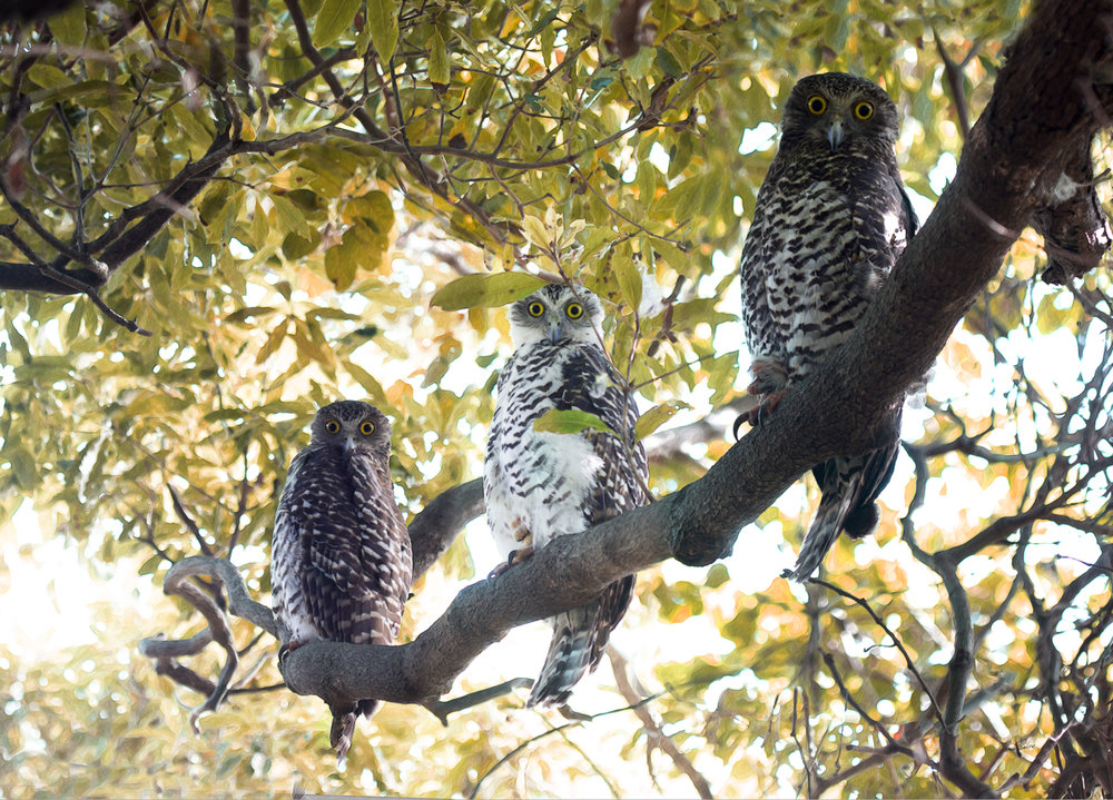 The Powerful Owl Family