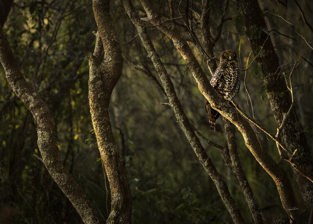Dignity - the Powerful Owl